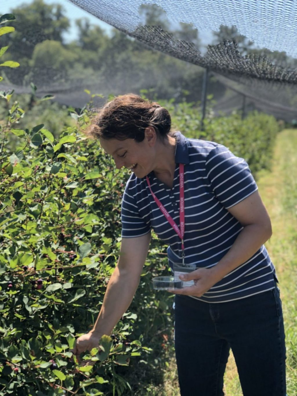 Picking Pershore Juneberries